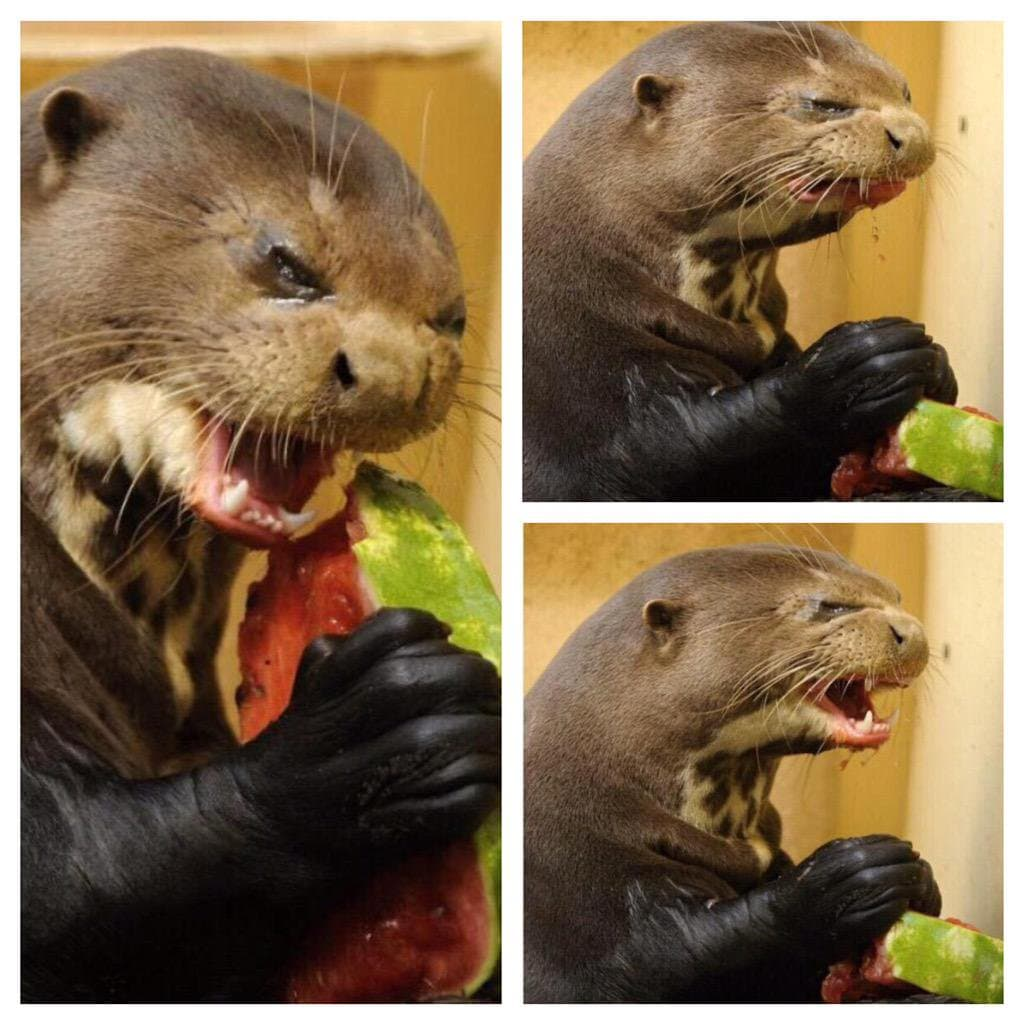 Otter eating watermelon