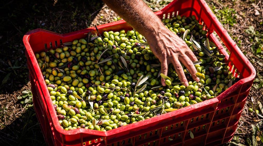 Raccolta Olive Castello di Ama