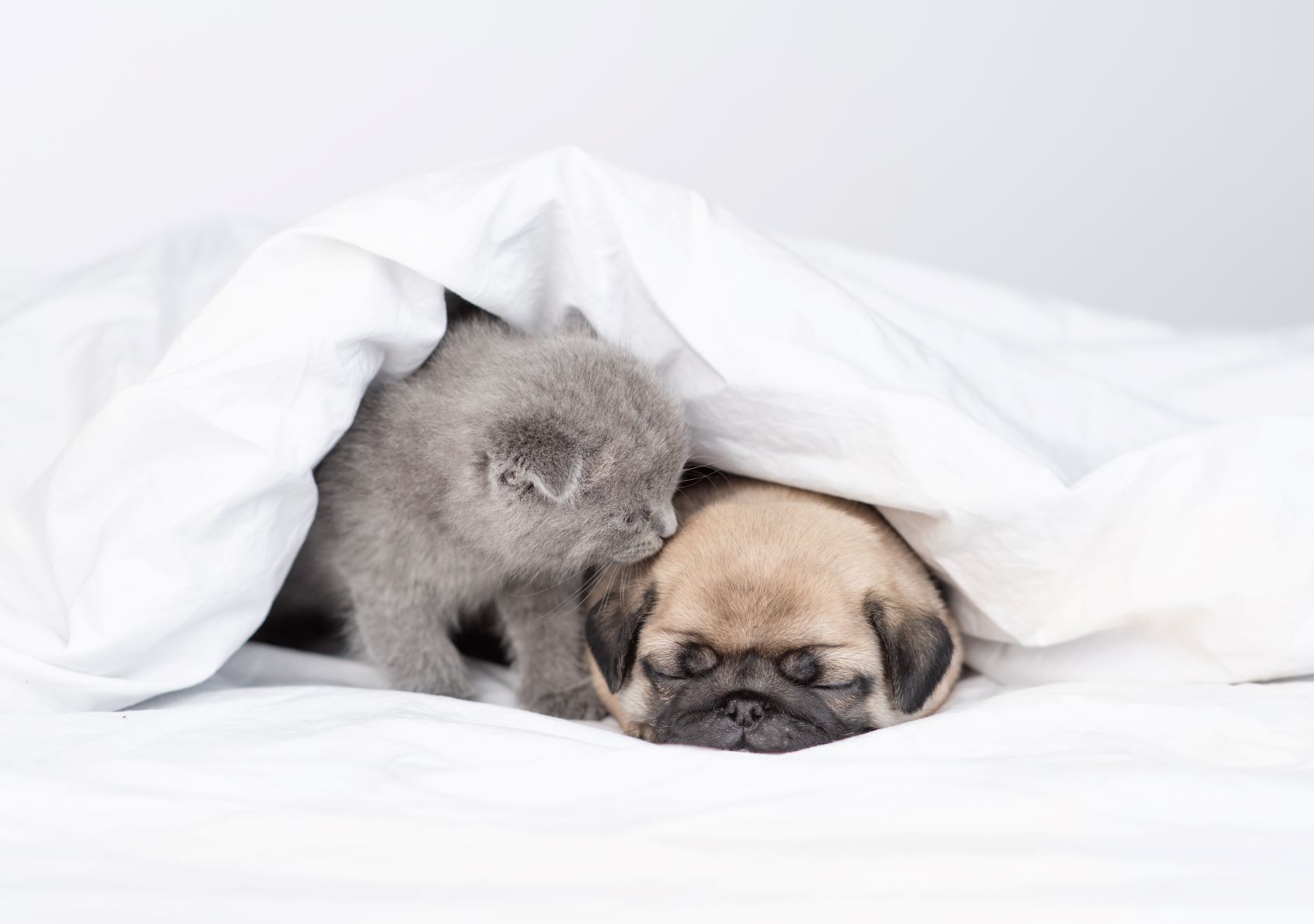 A curious kitten smelling his puppy friend under the covers on the bed
