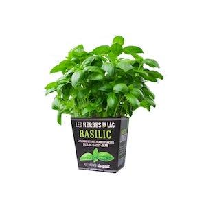 Plant hydroponique de Basilic frais en pot