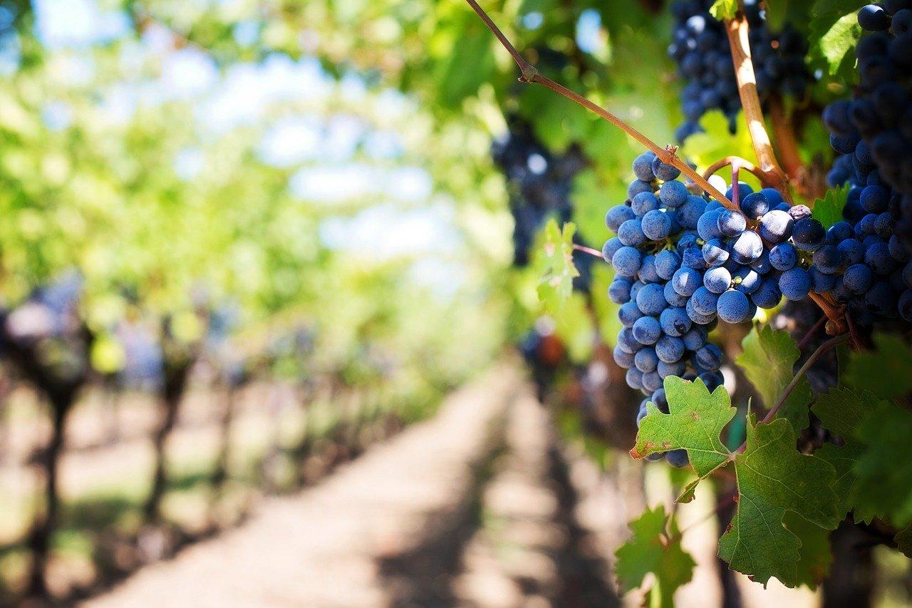 vignerons indépendants : grappe de raisin