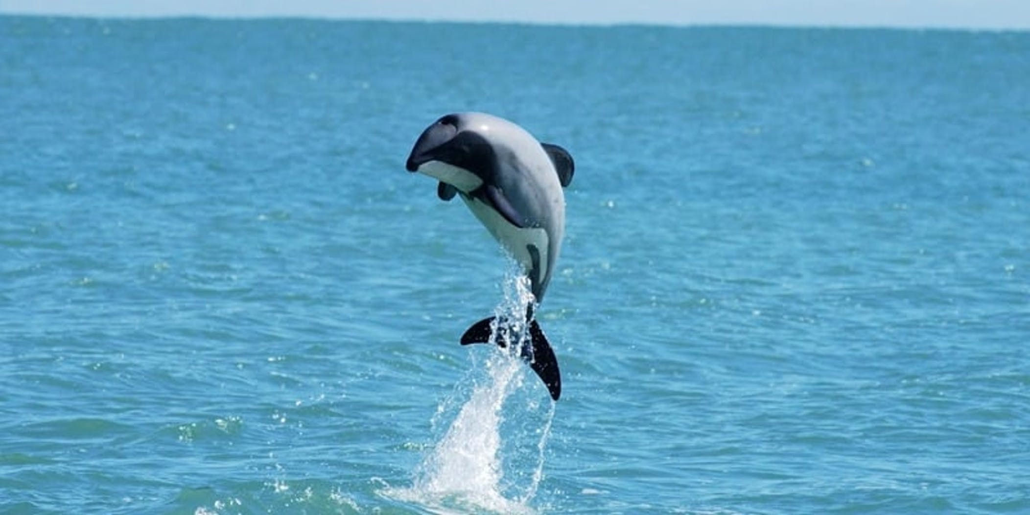 Hector's dolphin project