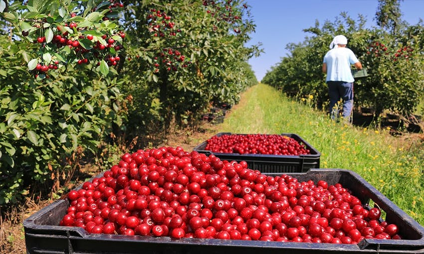 a lady picking cherries in a cherry field during cherry season next to two big punnets of bright red cherries