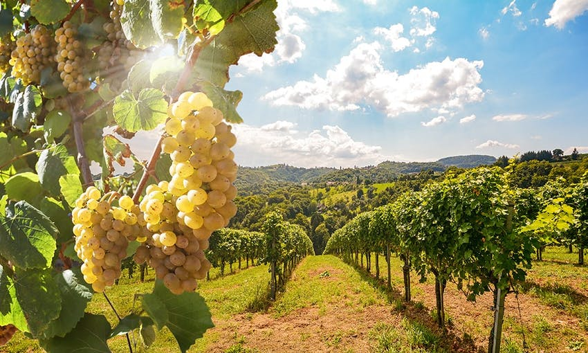 scenic view of green vineyards with green grapes and a blue sky with fluffy clouds in the background