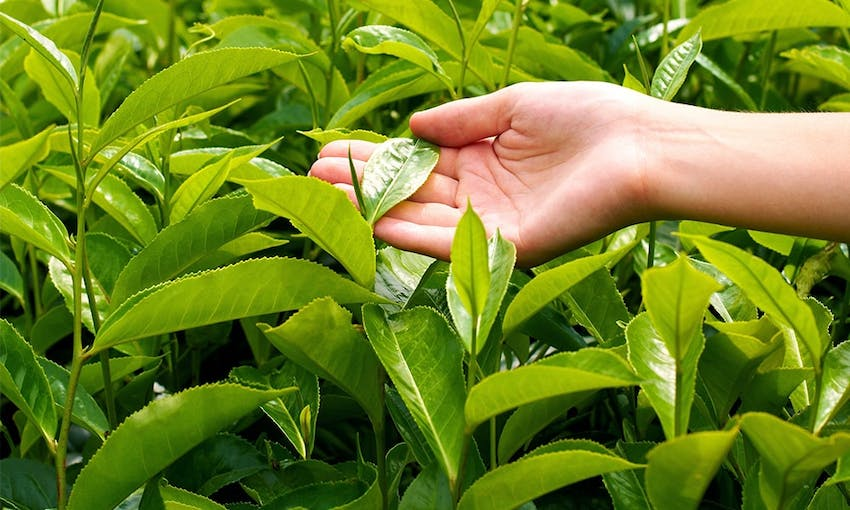 camellia sinensis plats with a hand reaching in and touching a leaf