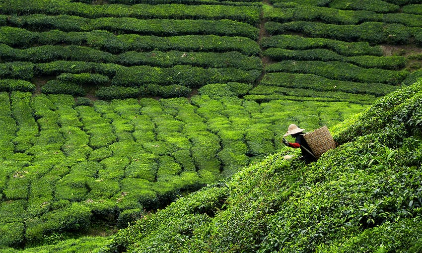 a lady with a straw hat wearing a wicker basket on her back tea farming in a large green tea field in India