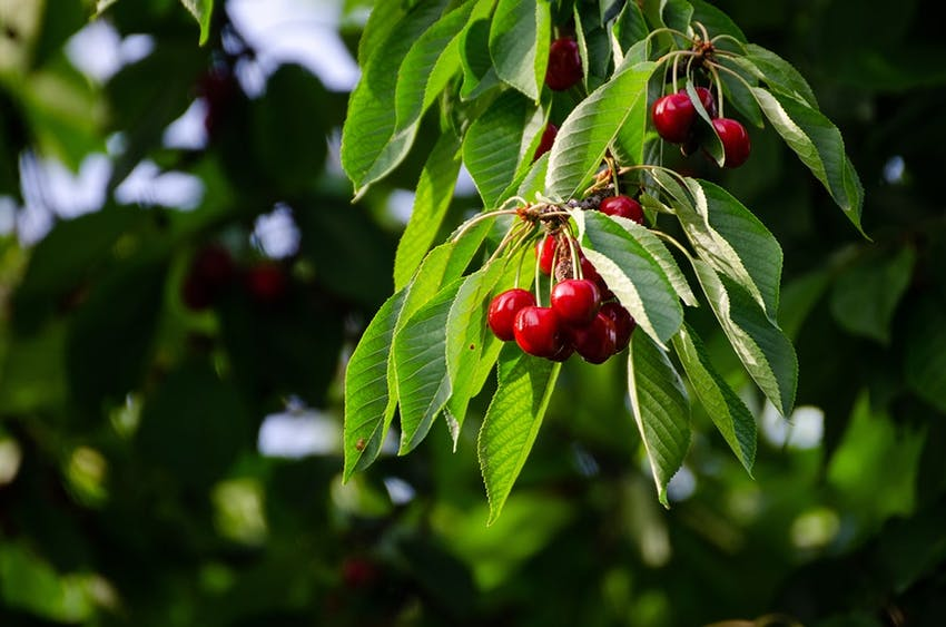 cranberries growing outdoors