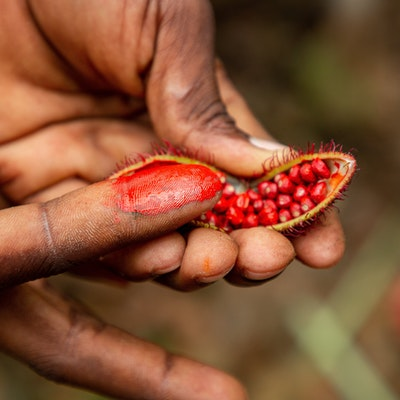 two hands hold the annatto seed where one finger is smudged with the colouring of the annatto seeds