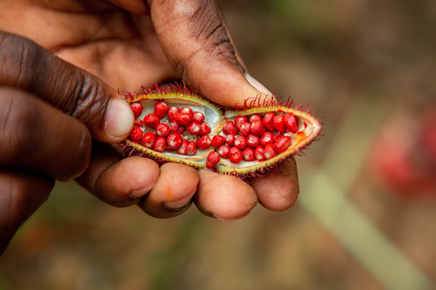 a pair of hands holds a fully open annatto seed revealing the colourful seeds used for food colouring