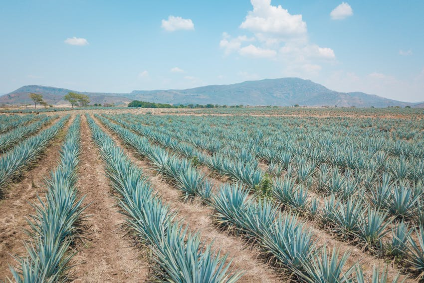 Tequila is made from the blue agave plant
