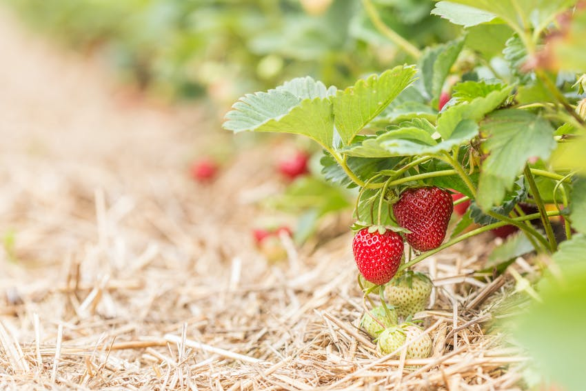 Growing strawberries insulated by straw