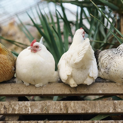 Erudus… Provides RSPCA Assured Certification - Hens on a perch