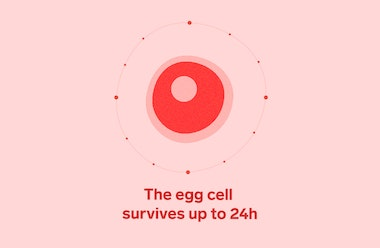 Red female egg cell on a pink background with the text 'the egg cell survives up to 24h'