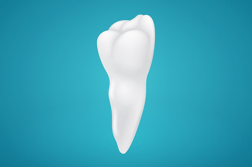 An illustration of a tooth and its root