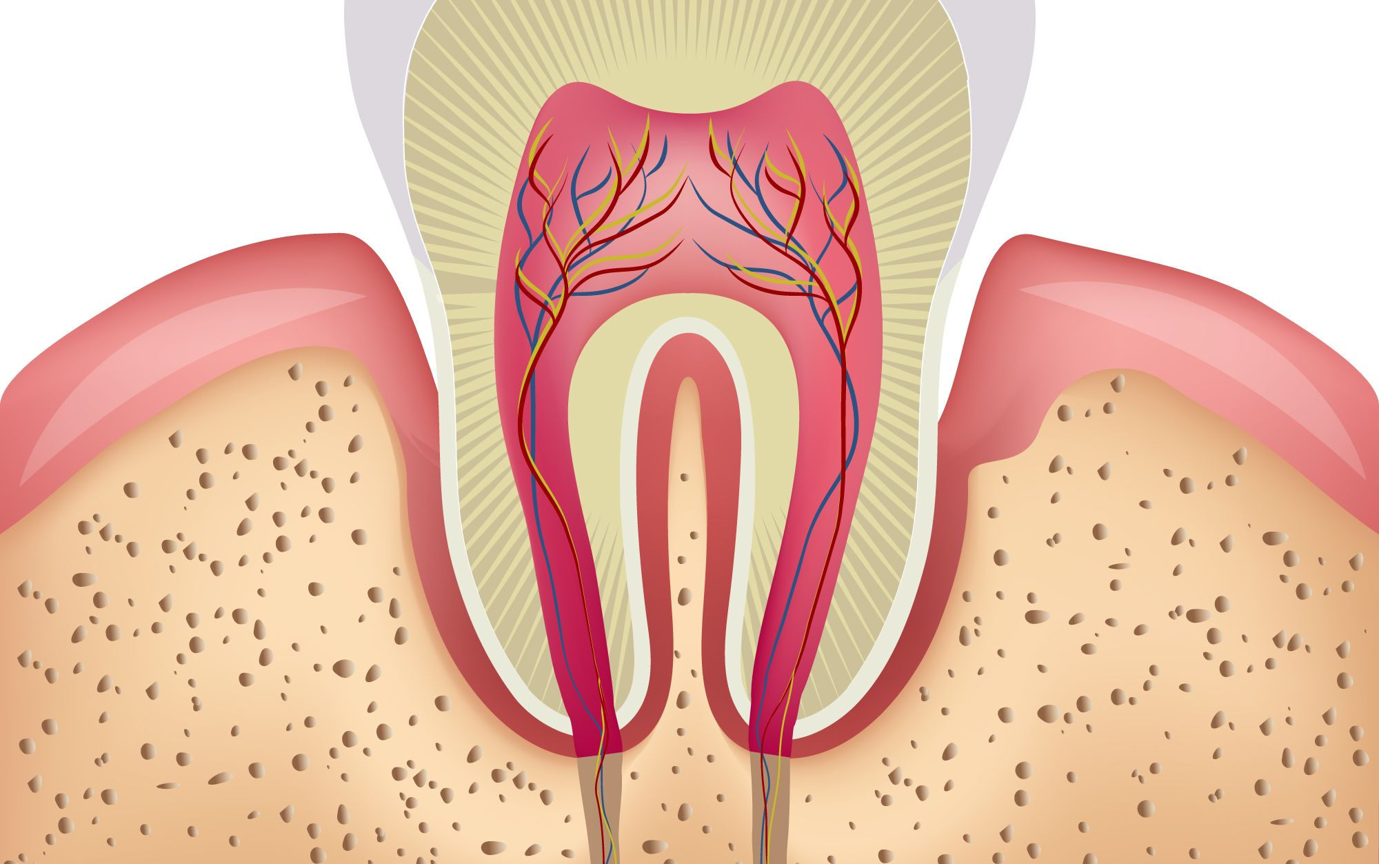 The anatomy of a tooth