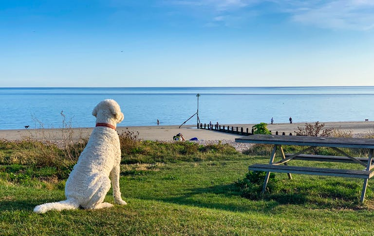Pebble the dog sat on Oval Field by the picnic bench looking out over the sandy beach at Oval beach