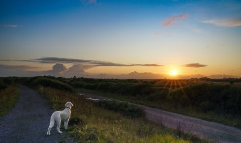 Pebble the dog looking toward the setting sun in the nature reserve of RSPB Medmerry