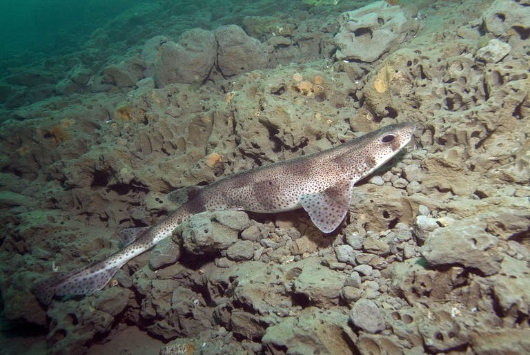 A Catshark in the Mixon hiding among the stones