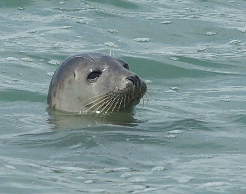 Seal swimming off East Beach Selsey