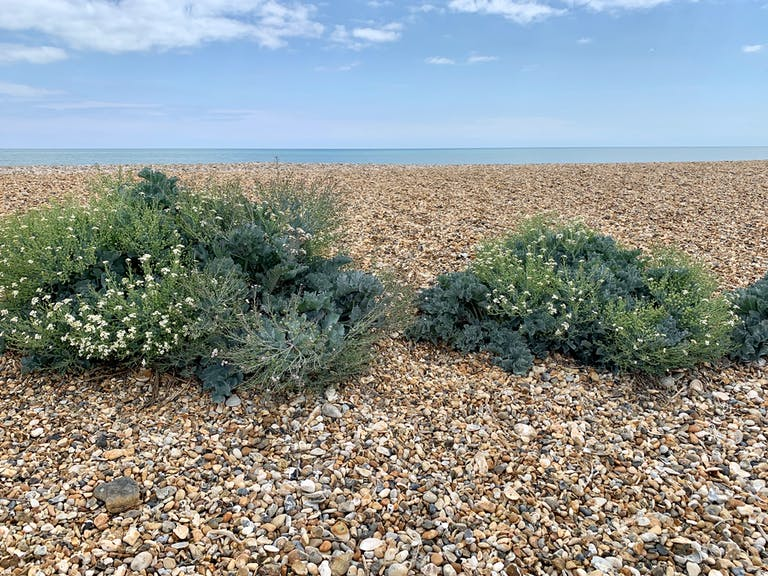 image of sea kale in white flower with the shingle in the foreground and sea in the background