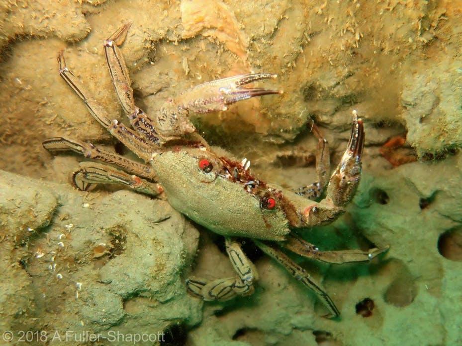 Velvet Swimming Crab, courtesy of Alison Fuller Shapcott