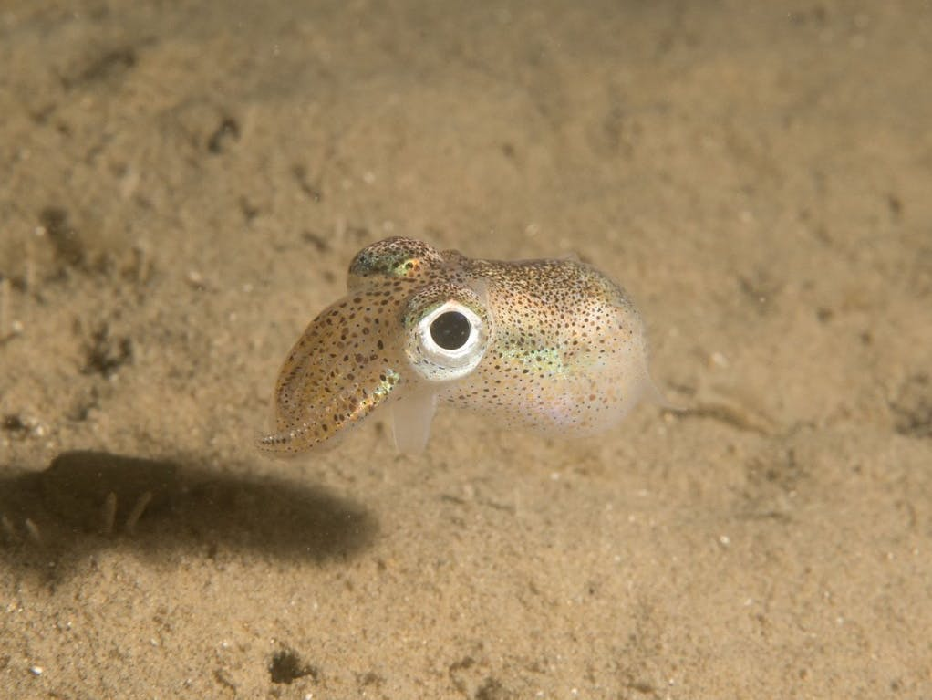 Little Cuttlefish- Sepiola atlantica, courtesy of  Steve Trewhella