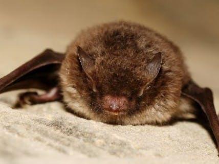 small eared brown bat