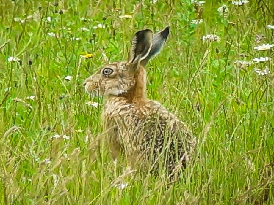 Hare in long grass, ears up