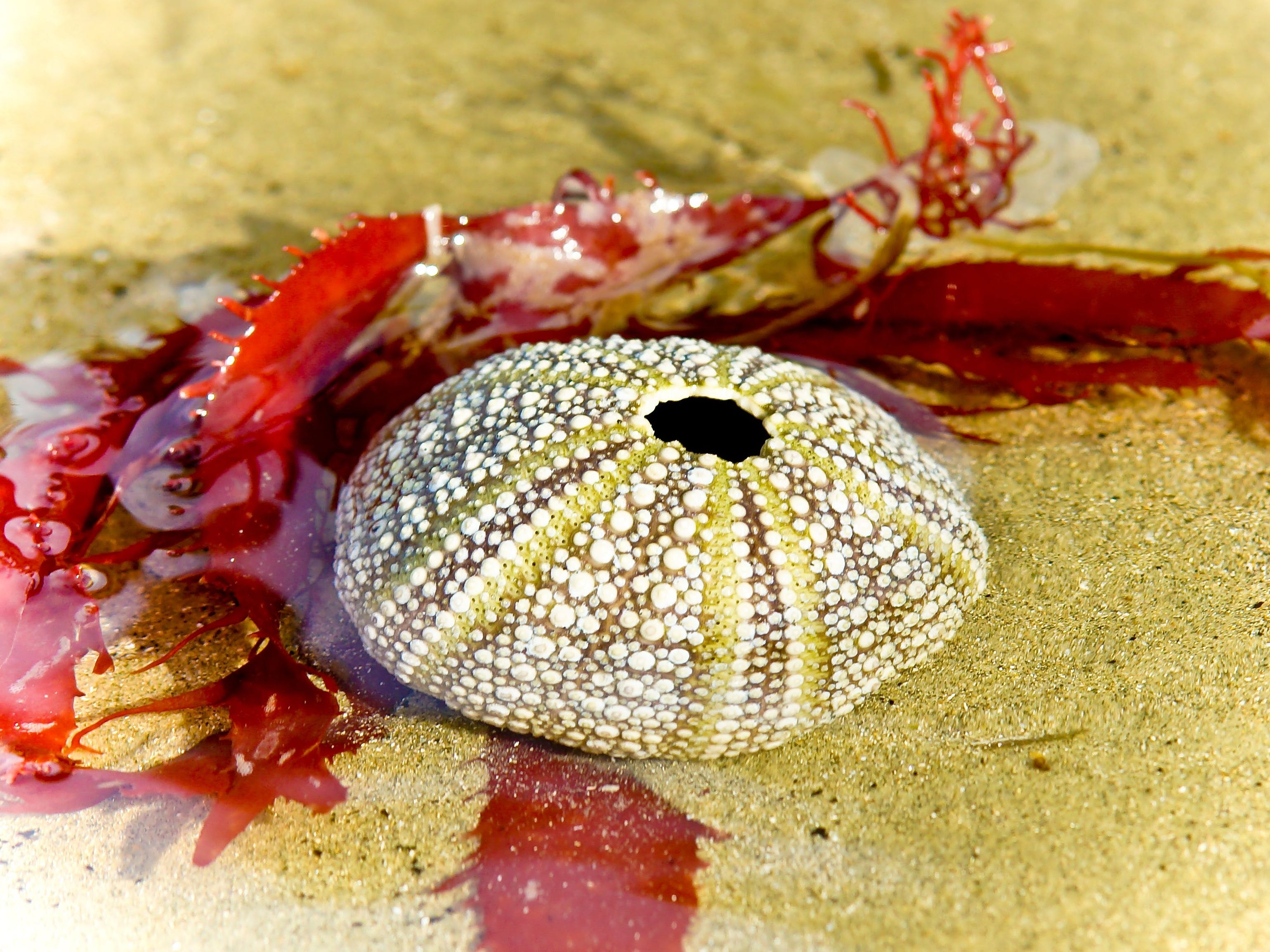 Red weed surrounded a sea urchin shell