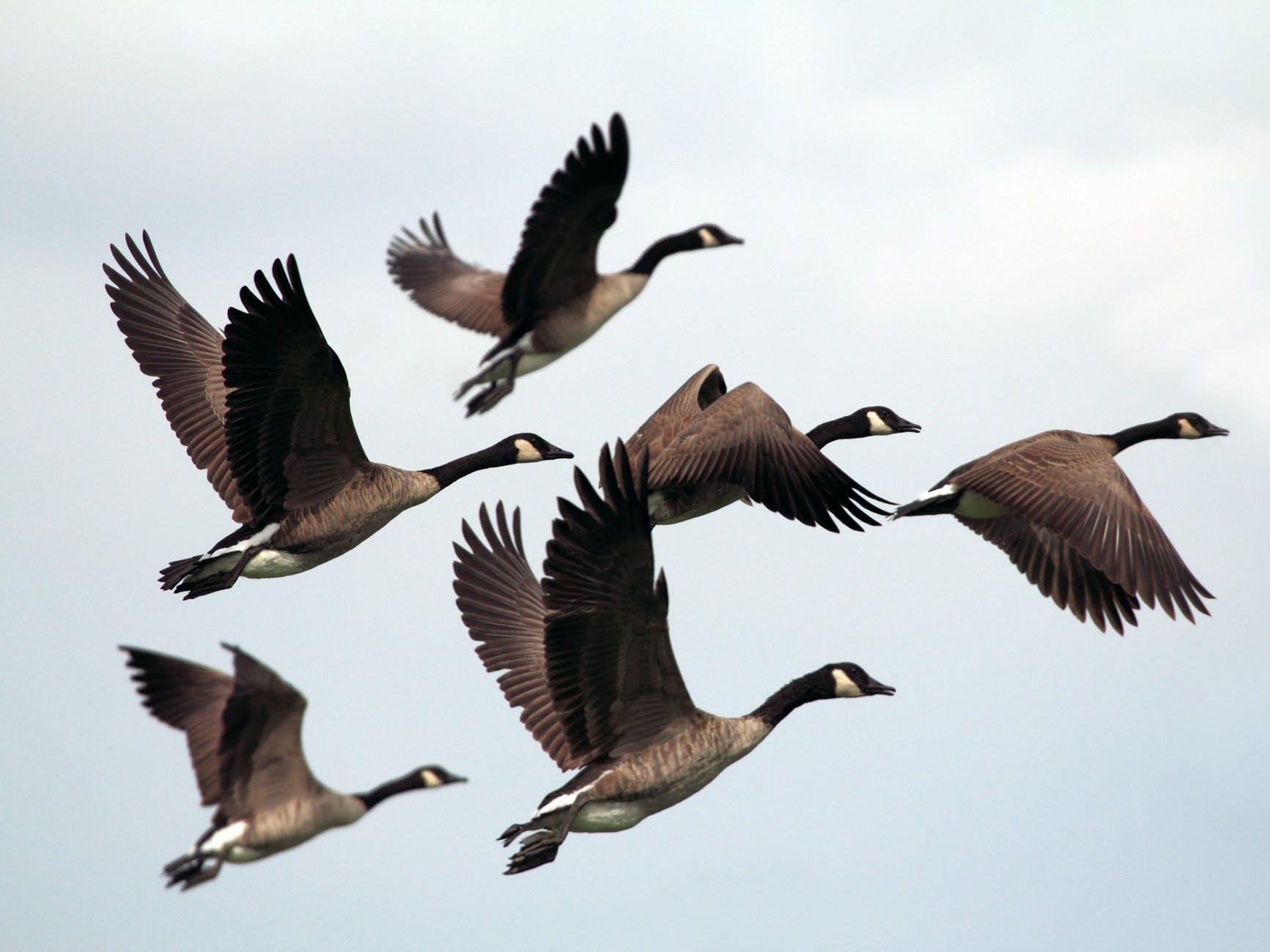 6 Brent Geese in flight