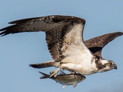 Osprey with its prey of a whole fish