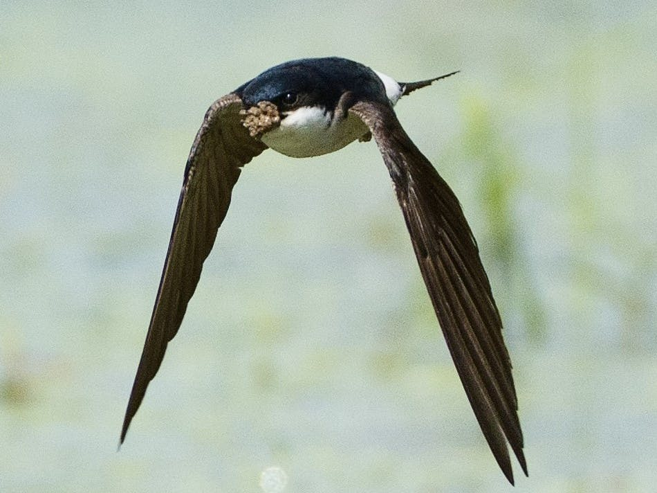 Swollow swooping with food