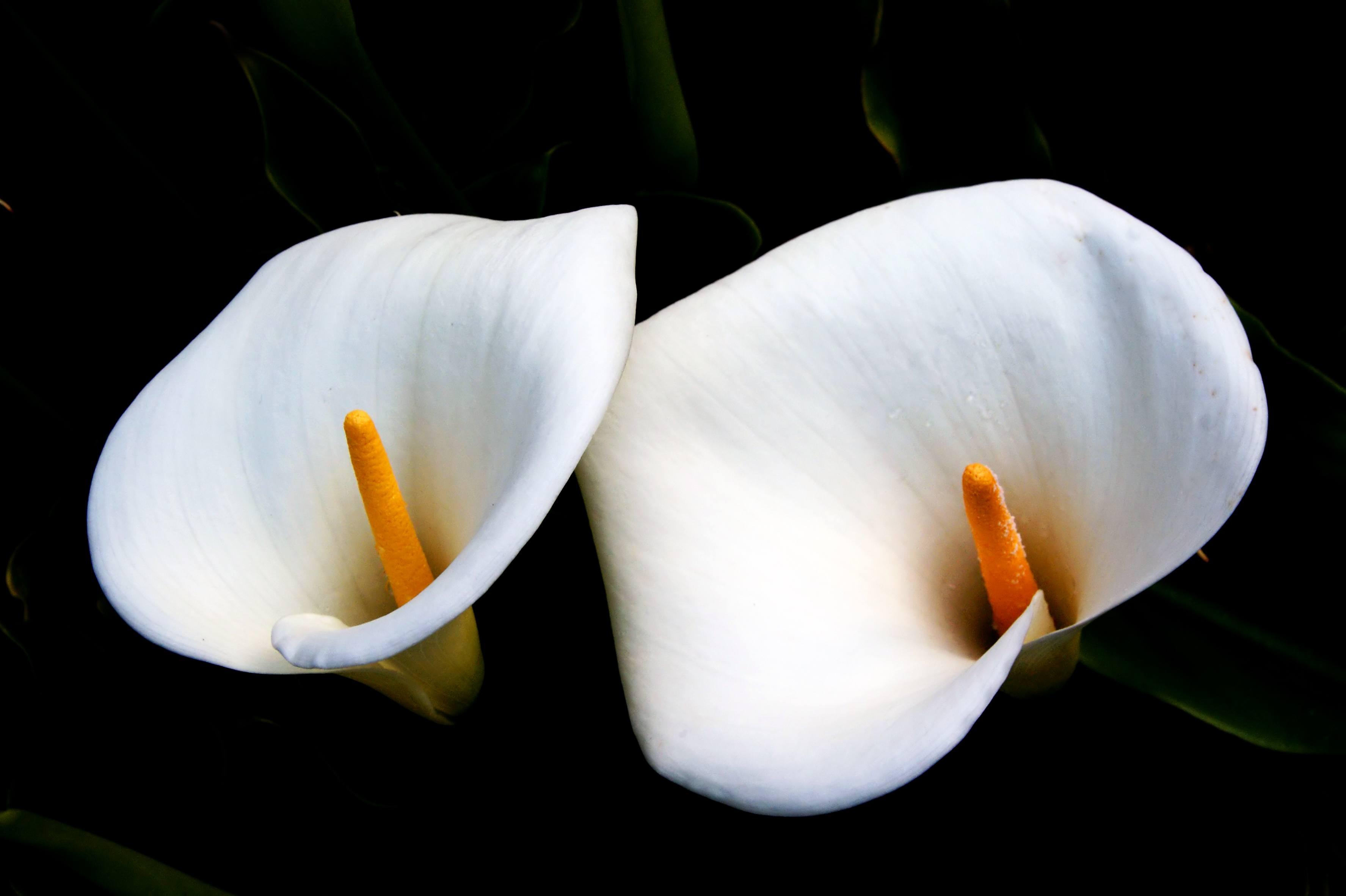 Image gratuite fleurs