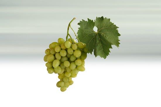 Stolní víno - odrůda Arkadia