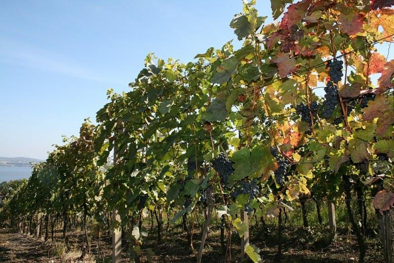 Vinice, červené víno
