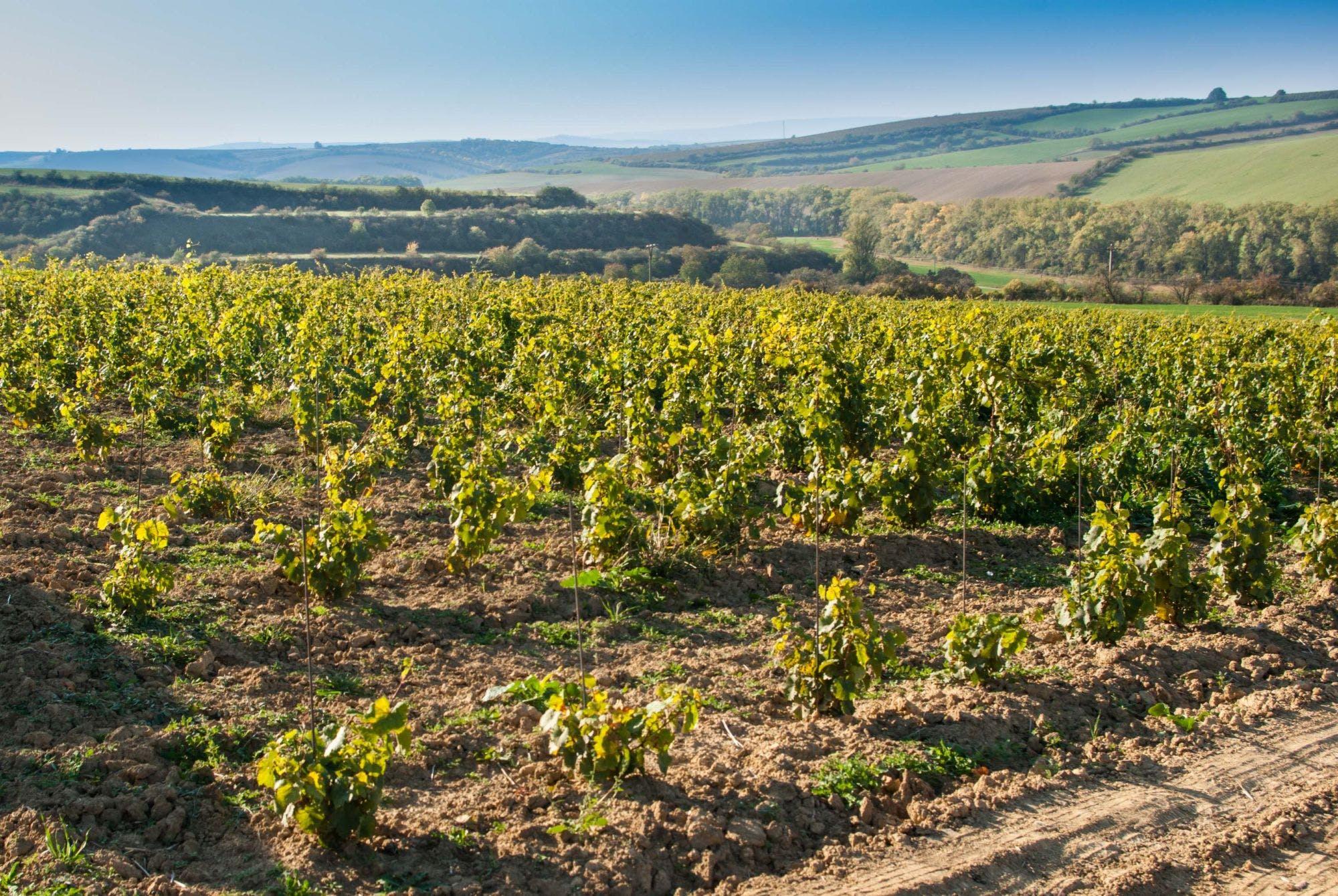 Moravská vinice, červené víno