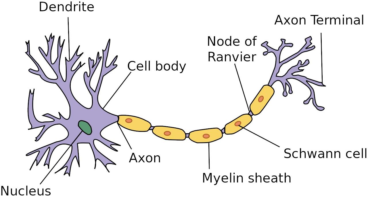 diagram of a motor neuron