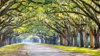 Oak Trees in Savannah