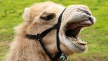 Camel laughing