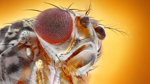 Close up on fruit fly