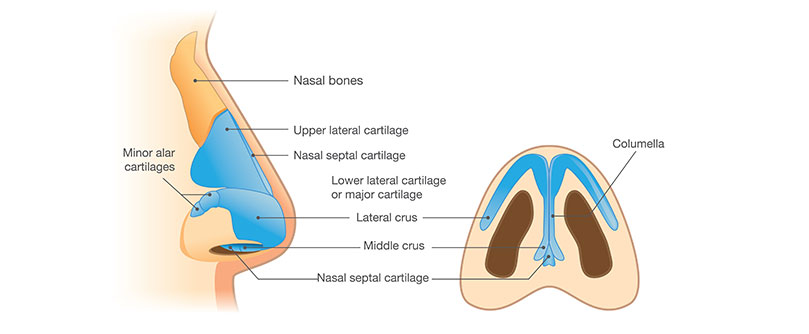 Diagram of the anatomy of a nose