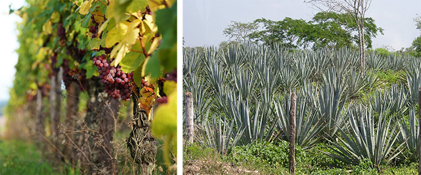 wine-vines-and-agave-field