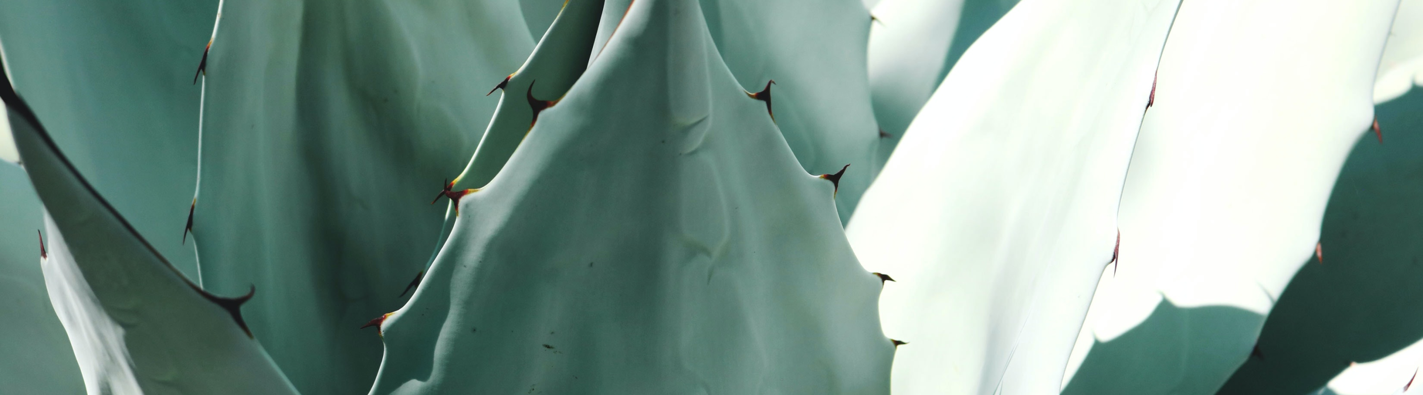 agave-plant-cover