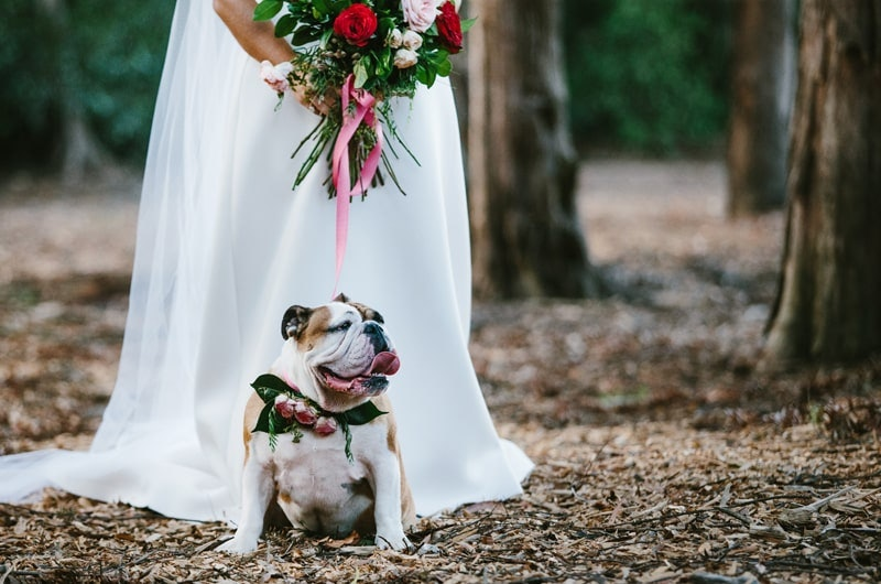 English bulldog wears wedding flowers next to bride