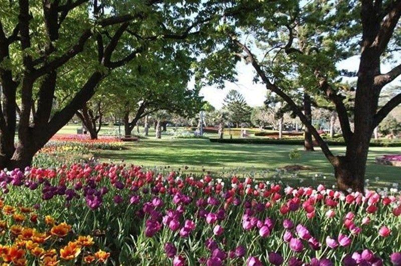 Garden Full of Tulips