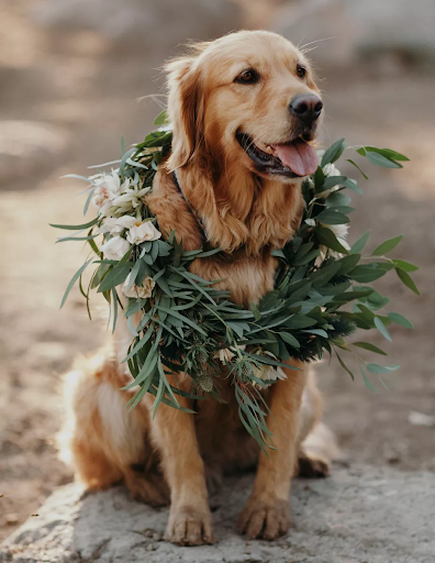 Golden retriever with greenery placed around his neck