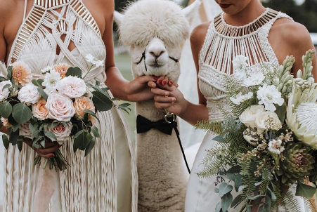 Bridesmaids lead lama dressed in bow tie