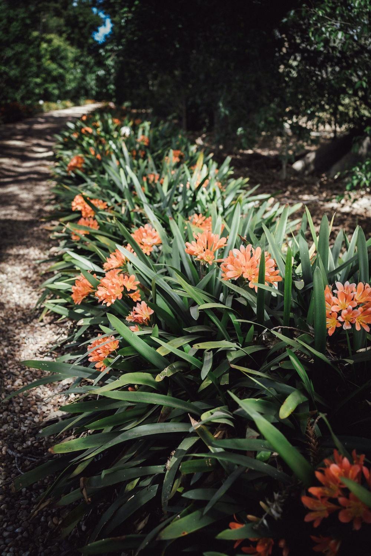 Clivias in bloom
