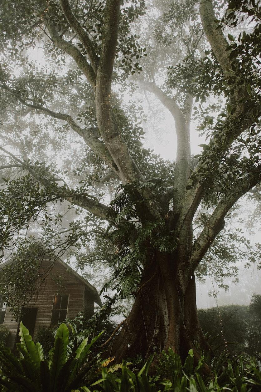 Fig tree in rain