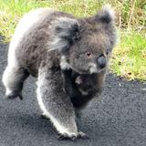 Koala running on the road